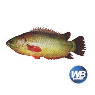 Koi Fish (After Cutting Net Weight ± 50 gm) 600 gm